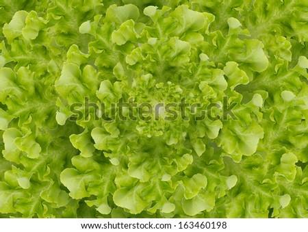 Background lettuce - stock photo