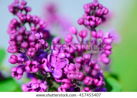 background lilac flowers and foliage in spring