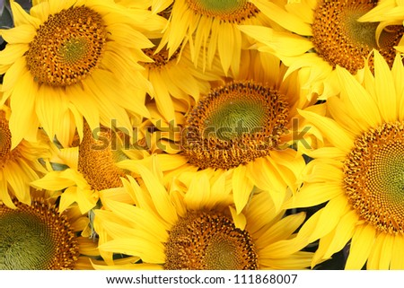 Background made from beautiful yellow sunflowers in full bloom