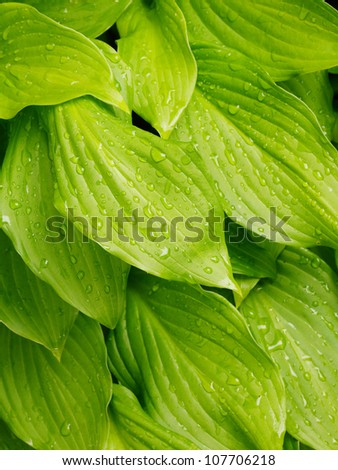 background of a green leafs with drops of water