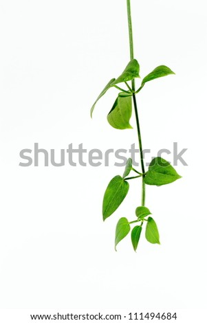 Background of a green vine - stock photo