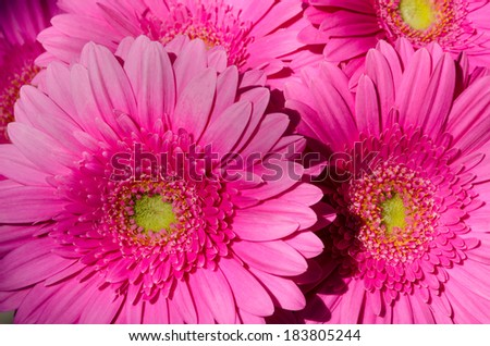 Background of a group of pink gerberas - stock photo