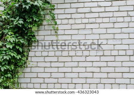 Background of a white brick wall with green leaves of ivy (virginia creeper) on one side