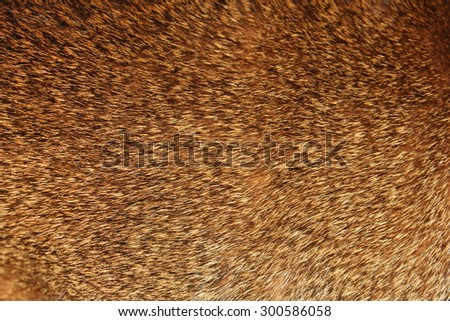 Background of abyssinian hair. - stock photo