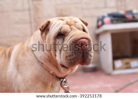 Background of beautiful dog, keeps house - stock photo