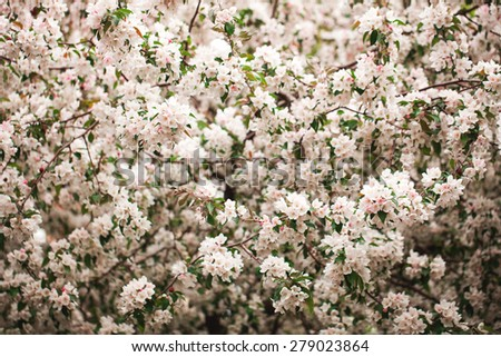 Background of beautiful fruit tree in bloom at springtime - stock photo