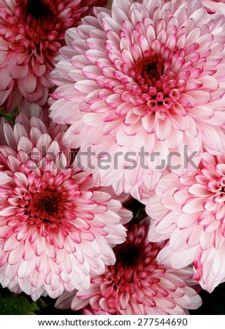 Background of Big Beautiful Pink and Red Chrysanthemum closeup - stock photo
