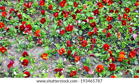 Background of blooming flowers the plurality brown Pansy