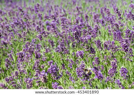 Background of blooming lavender fields.
