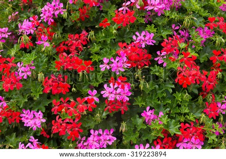 background of blooming red and pink geranium flowers - stock photo