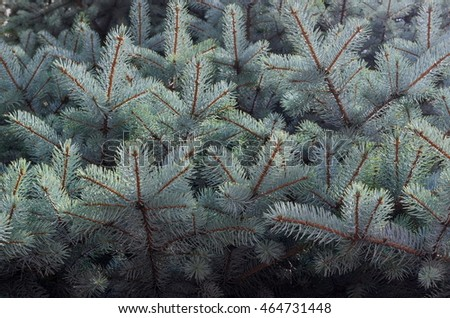 Background of blue spruce branches, tender green and blue needles