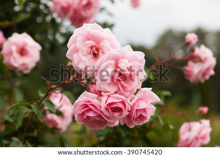 Background of bouquet of pink blooming rose bush - stock photo