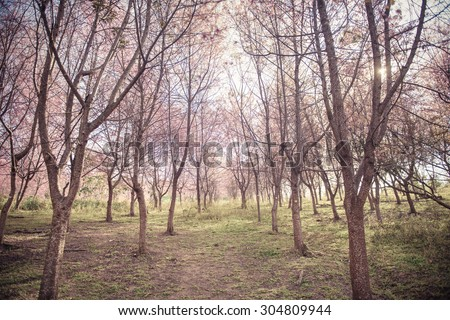 Background of Cherry blossom forest with soft focus on Phulomlo park in Loei province Thailand. - stock photo