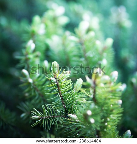 Background of Christmas tree branches. Fir tree background  - stock photo