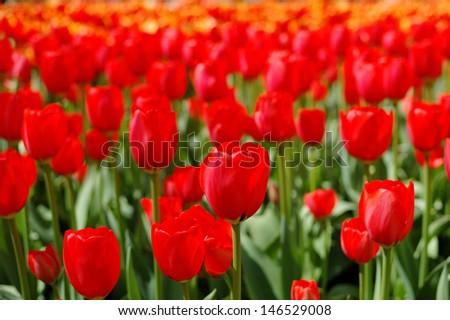 Background of colorful fresh tulips at Keukenhof garden, the Netherlands  - stock photo