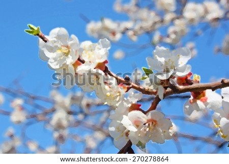 Background of flowers of a tree of an apricot using filter