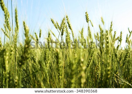 Background of fresh spring Green yellow wheat field ears close up with shallow depth against blue summer sky. Nature and raw food backdrop. Spring season - stock photo