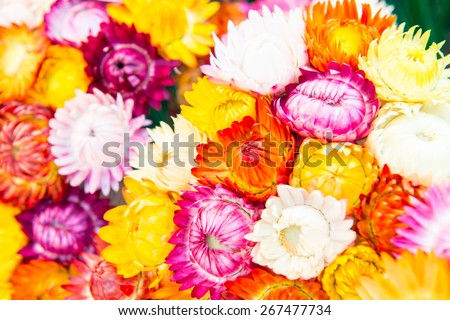 Background of Fresh Straw Flower, Thailand. - stock photo