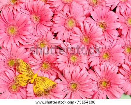 Background of gerbera flower. - stock photo