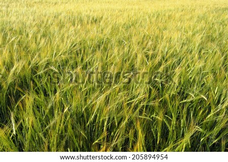 Background of green cereal field - stock photo