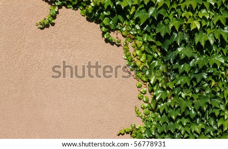 Background of green ivy on concrete wall - stock photo