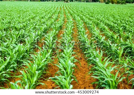 Background of green maize growing larger.