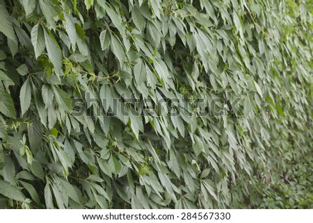 Background of green plants Parthenocissus tricuspidata Veitchii which is braided wall. - stock photo