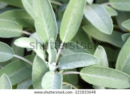 background of green Sage leaves in the garden in itayl - stock photo
