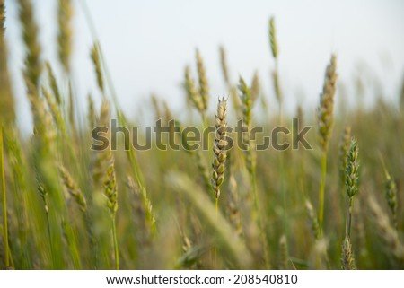 Background of Green wheat summer field, forest and sunset cloudy sky background  - stock photo