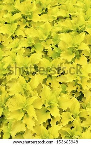 Background of greenish yellow coleus in summer garden - stock photo