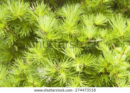 background of larch branches filled the entire frame, Young needles of larch, Larix - stock photo