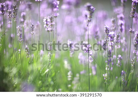 Background of lavender flowers blooming - stock photo