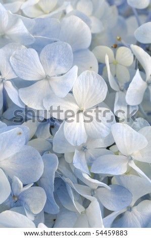 Background of light blue hydrangea