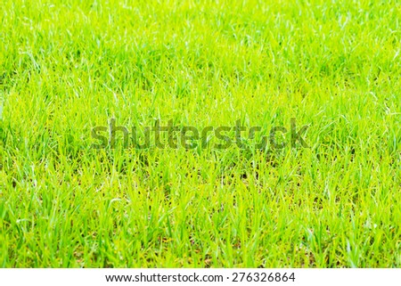 Background of lush green corn fields. Beautiful springtime cereal plants. - stock photo