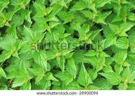 background of lush green springtime nettle leaves - stock photo