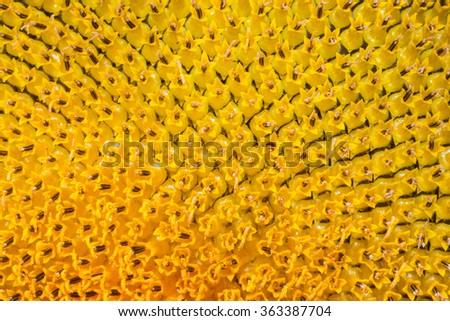 background of macro Sunflower pollen - stock photo