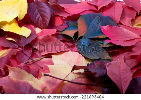Background of multicolor autumn leaves (Virginia creeper leaves) - stock photo