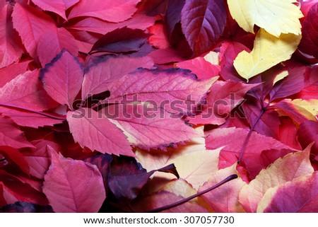 Background of multicolor autumn virginia creeper leaves (Parthenocissus quinquefolia foliage) - stock photo