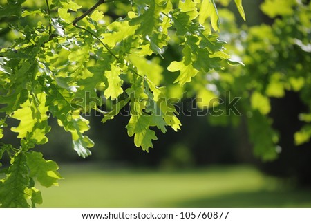 Background of oak leaves in sunlight