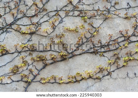 Background of old wall with climbing vines