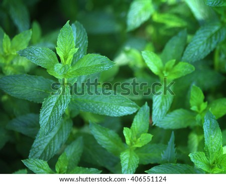 Background of organic pepper mint in garden, selective focus - stock photo