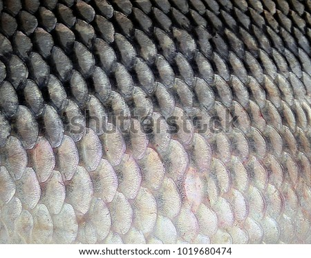 Background of Pattern fish scale big carp seafood