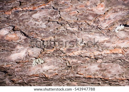 Background of pine bark
