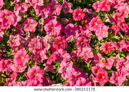 Background of pink petunia flowers in the garden in a summer day