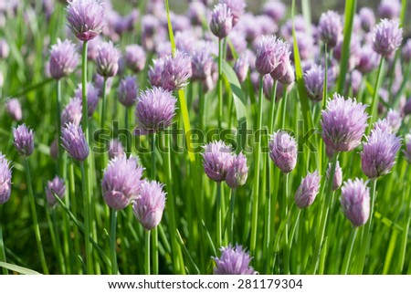 Background of purple flowers. - stock photo