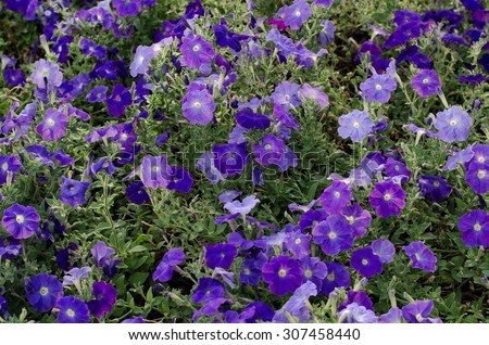 Background of purple petunia flowers, summer flowerbed.  - stock photo