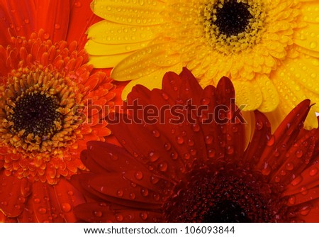 Background of Red, Orange and Yellow gerbera flowers with water droplets closeup - stock photo