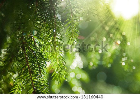 Background of spruce branches close-up - stock photo