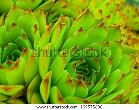 "Background of succulent echeveria rosettes also known as ""hens and chicks"" - stock photo"