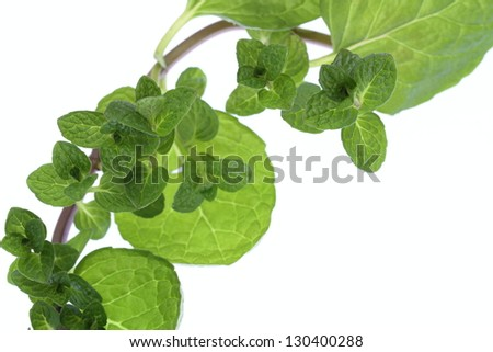 Background of the climbing nature mint leaves